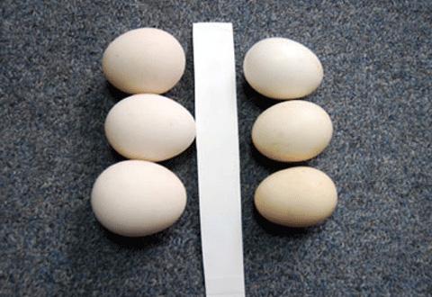 Trứng gà ta và trứng gà Tàu – làm sao phân biệt?