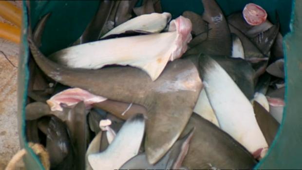 Nhận biết vi cá mập thật giả