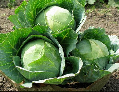 Cách nhận biết bắp cải xanh Trung Quốc chuẩn nhất