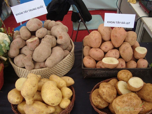 Phân biệt khoai tây Trung Quốc- khoai tây Đà Lạt