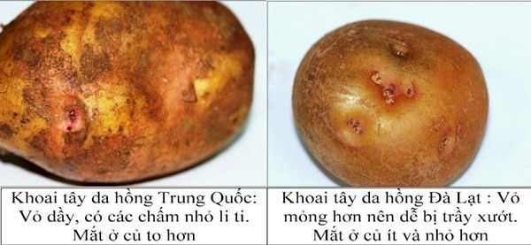 Phân biệt khoai tây Trung Quốc- khoai tây Đà Lạt qua vỏ khoai