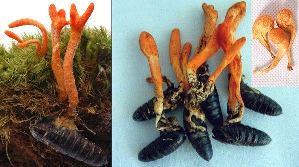 Sự khác biệt giữa đông trùng hạ thảo nuôi trồng nhân tạo và tự nhiên